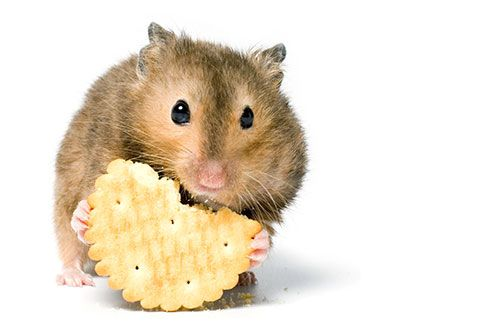 Hamster-eating-cookie